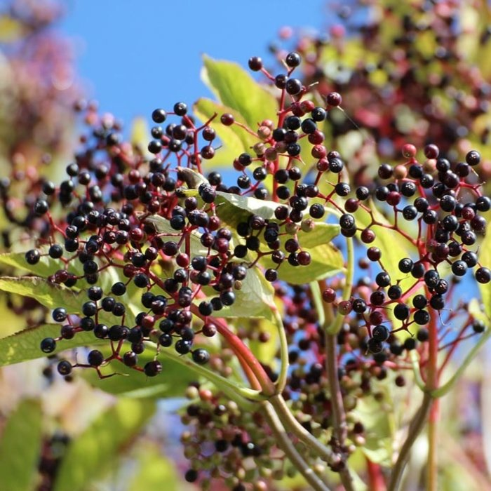 Miscellaneous Edible Berries