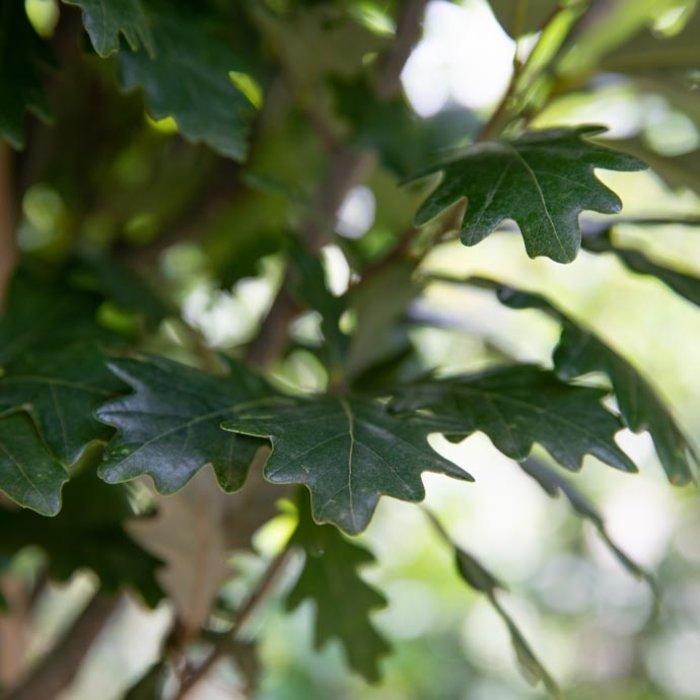 Oak (Quercus)