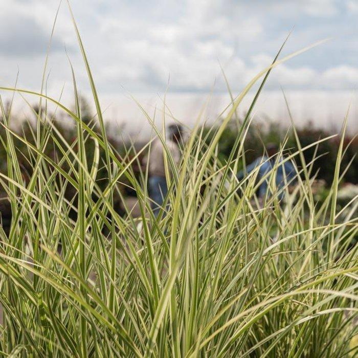 #2 Grass Miscanthus sine Variegatus/Japanese Silver Variegated