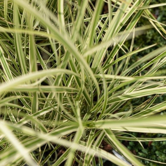 #2 Grass Miscanthus sine Bandwidth/Japanese Silver Variegated