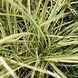 #2 Grass Miscanthus sine Bandwidth/Japanese Silver Variegated