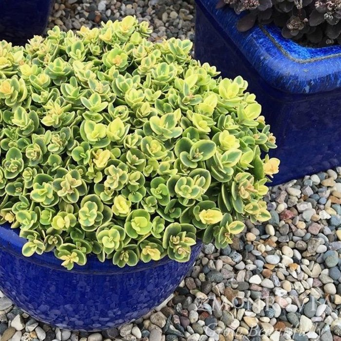 QP Sedum Lime Twist/Stonecrop