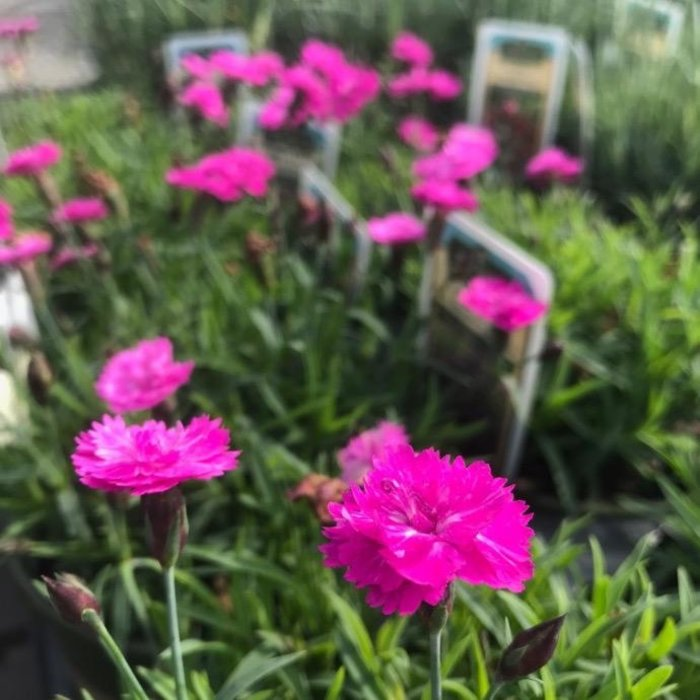 #1 Dianthus Mountain Fire Pink Pom Pom