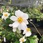 #1 Anemone Honorine Jobert/White