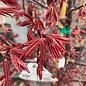 #10 Acer pal Twombly's Red Sentinel/Japanese Maple Red Upright