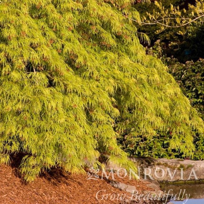 #6 Acer pal var diss Waterfall/Japanese Maple Green Weeping