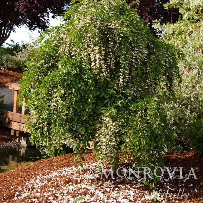 #10 Styrax japonicus Fragrant Fountain/Japanese Snowbell