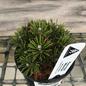 4P Bonsai Starter Pinus mugo White Bud/Pine No Warranty
