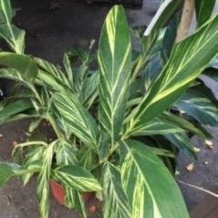 10p! Alpinia z /Ginger Variegated /Tropical