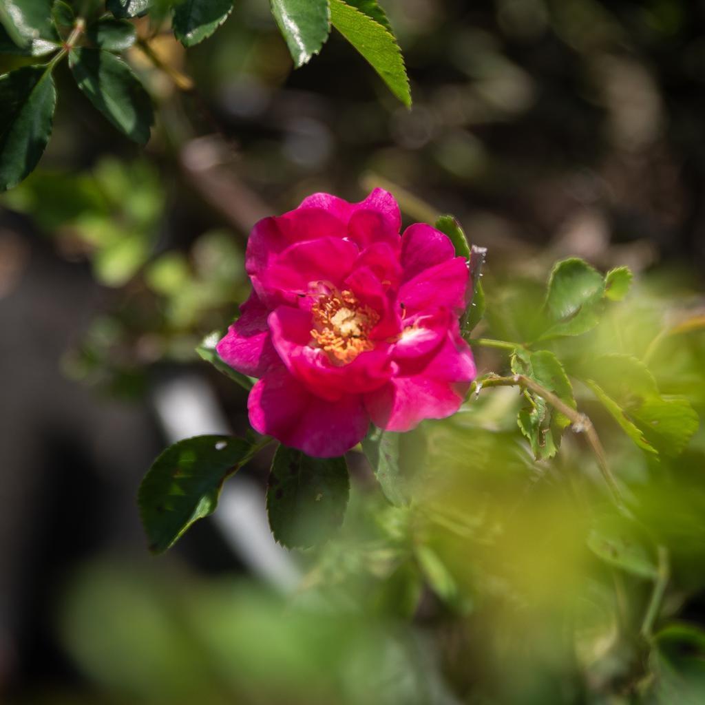 #2 Rosa Flower Carpet Pink/Rose NO WARRANTY
