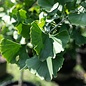 #15 Ginkgo biloba Golden Globe/Maidenhair (Male)