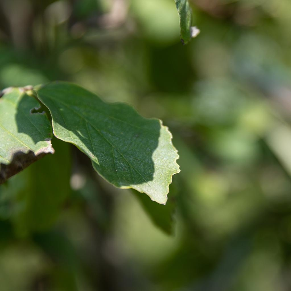 #15 Parrotia Persian Spire/Ironwood