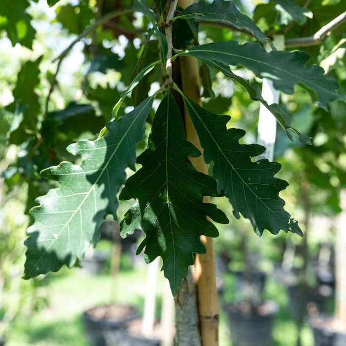 #15 Quercus bicolor/Swamp White Oak