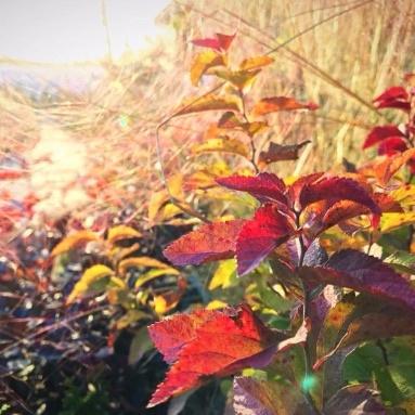 Spiraea Fall Color