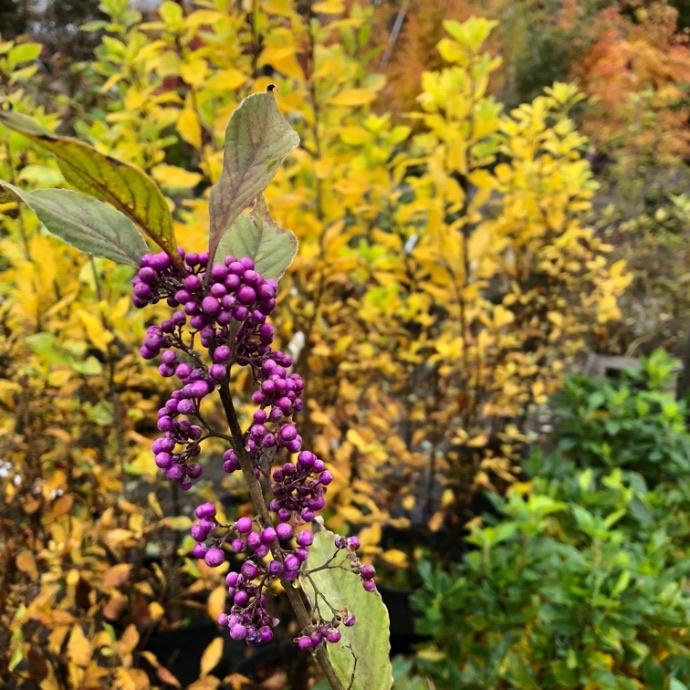 Callicarpa Americana Beautyberry Fall foliage and berries