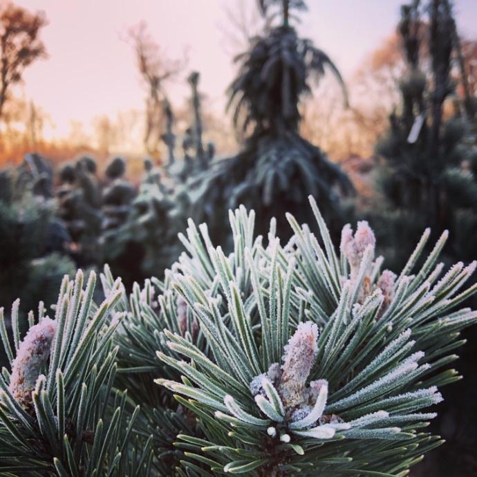 Nashville Pine Tree