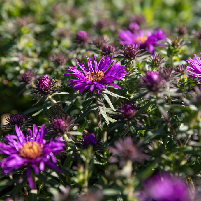 Aster fall bloom