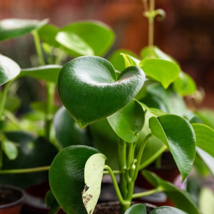 4p! Pilea Raindrop /Chinese Money Plant /Tropical