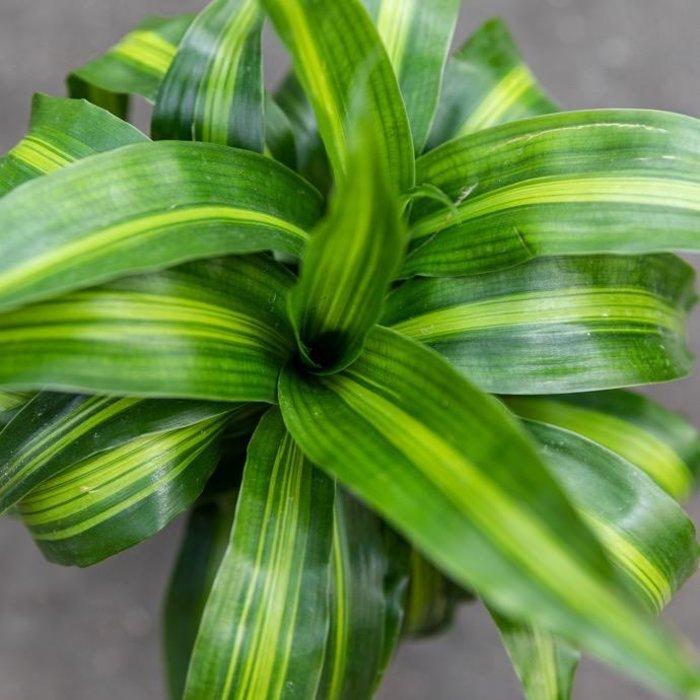 6p! Dracaena Hawaiian Sunshine Stag Cane /Tropical