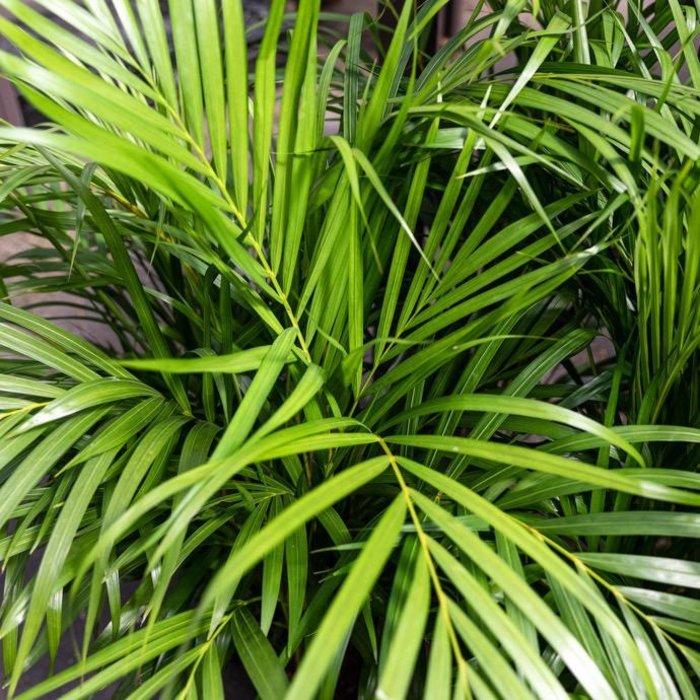 6p! Palm Dypsis lut /Areca Palm /Tropical