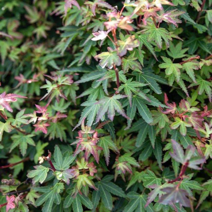 #15 Acer pal Koto maru/Japanese Maple