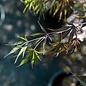 #3 Acer palmatum Upright Red