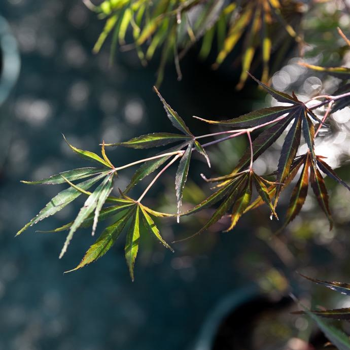 #3 Acer palmatum Upright Red