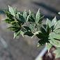 #15 Acer sieb. Kingugasa Yama/Siebold's Maple