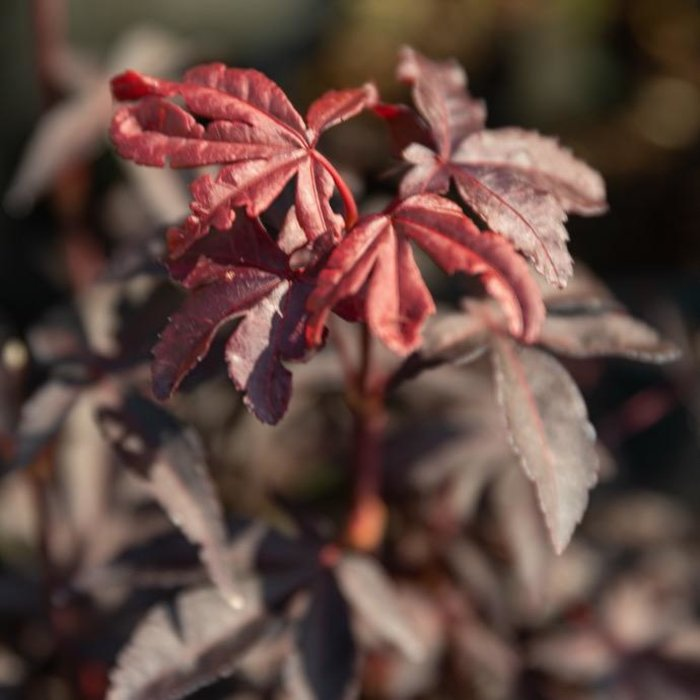 #1 Acer pal Twombly's Red Sentinel/Japanese Maple Red Upright