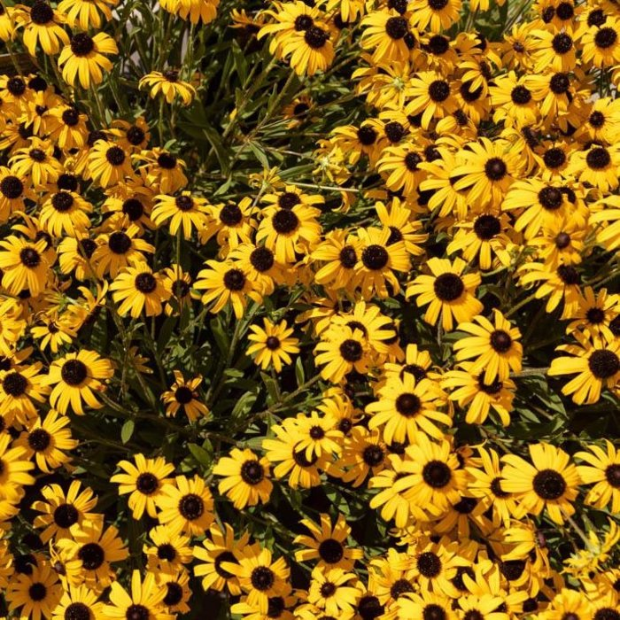 #1 Rudbeckia American Gold Rush/Black-Eyed Susan