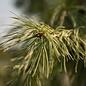 #15 Pinus strobus Angel Falls/Weeping White Pine NO WARRANTY