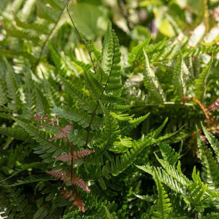 10P Dryopteris erythrosora Brilliance/Autumn Fern