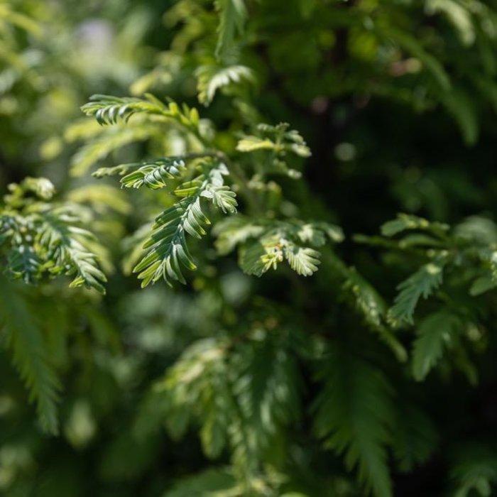#15 Metasequoia glypto Hamlets Broom/Dawn Redwood Dwarf