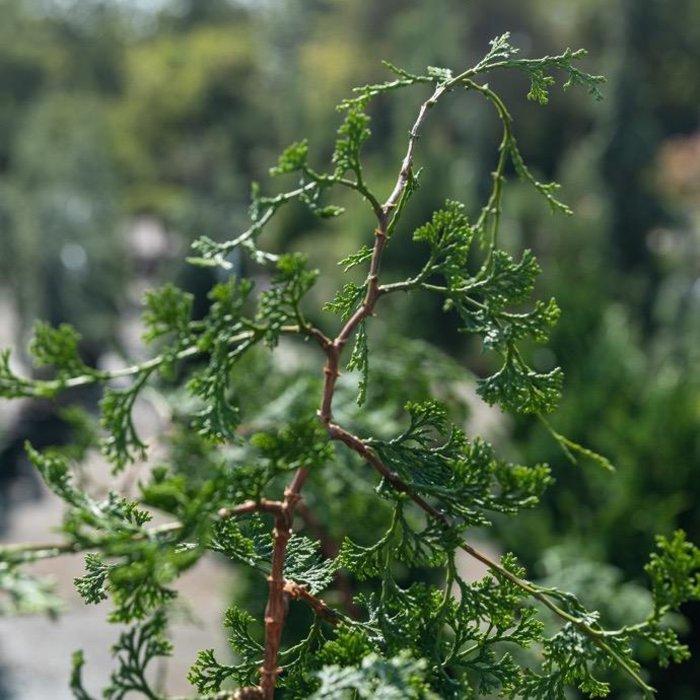 9-10' Chamaecyparis obt Iseli Green/Hinoki Falsecypress