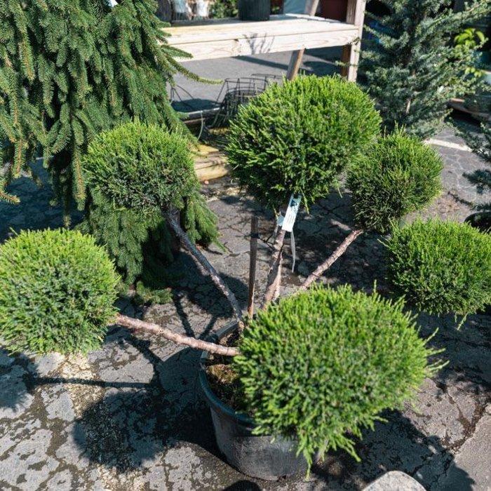 Topiary #10 PP Juniper x pfitz Sea Green/Pfitzer Juniper PomPom