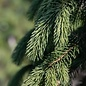 #10 Picea glauca Pendula/Weeping White Spruce