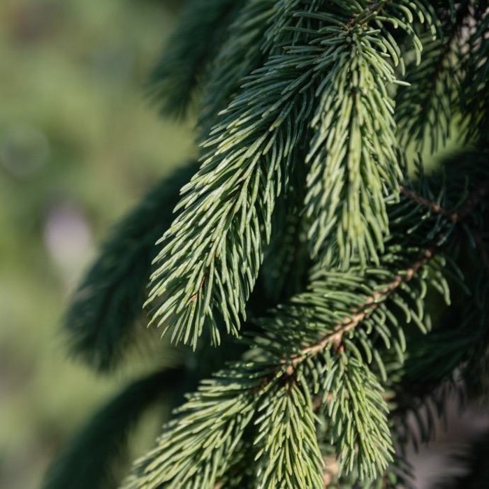#6 Picea glauca 'Pendula'/Weeping White Spruce