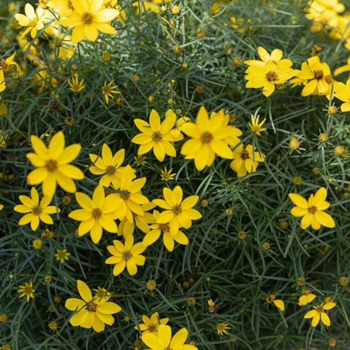 #1 Coreopsis v Zagreb American Beauties/Tickseed
