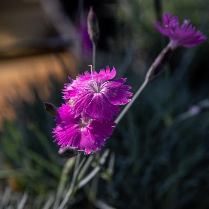 QP Dianthus Firewitch/Cheddar Pink