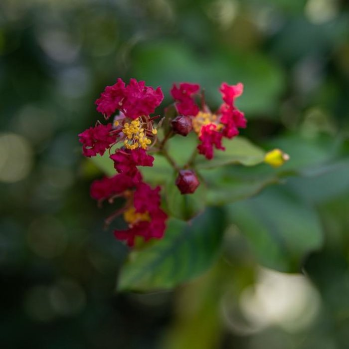 #15 Lagerstroemia Colorama Scarlet/Crape Myrtle Scarlet-red
