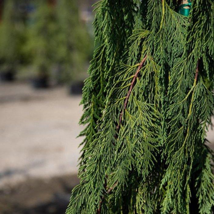#15 Chamaecyparis nootka Jubilee/Weeping Alaskan Cypress