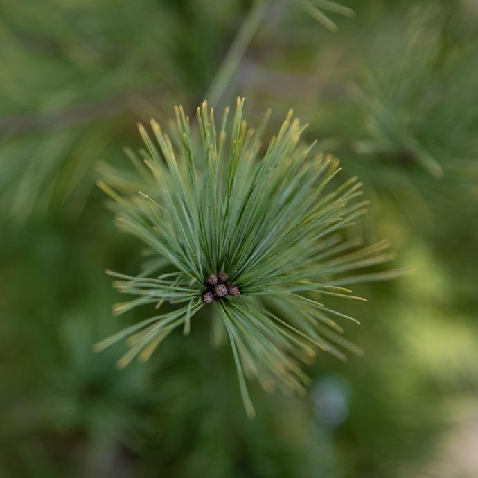 #3 Pinus strobus Louie/Eastern White Pine NO WARRANTY