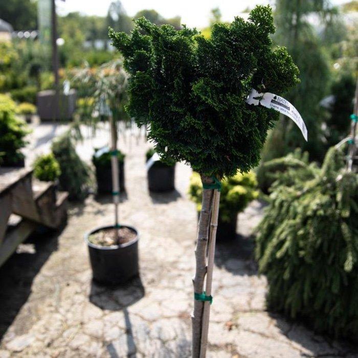 "Topiary #3 24"" Patio Tree Chamaecyparis obt Nana Gracilis/Hinoki Falsecypress Dwarf"