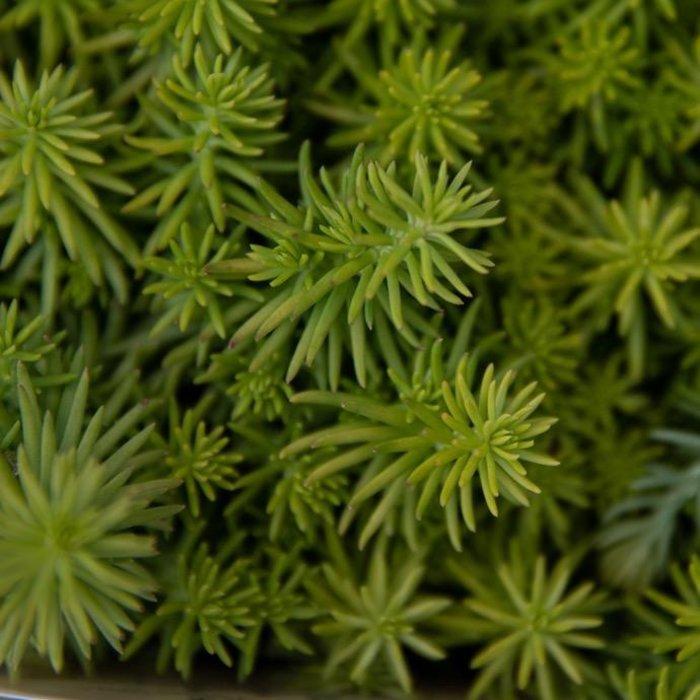 QP Sedum rup Angelina/Stonecrop Succulent