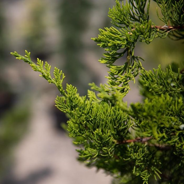 #6 Juniperus chin Torulosa/Hollywood Chinese Juniper Upright