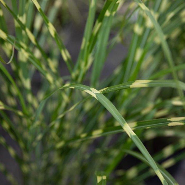 #3 Grass Miscanthus sine Zebrinus/Zebra Variegated