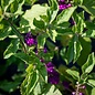 #3 Callicarpa dich Purple Pride/Beautyberry