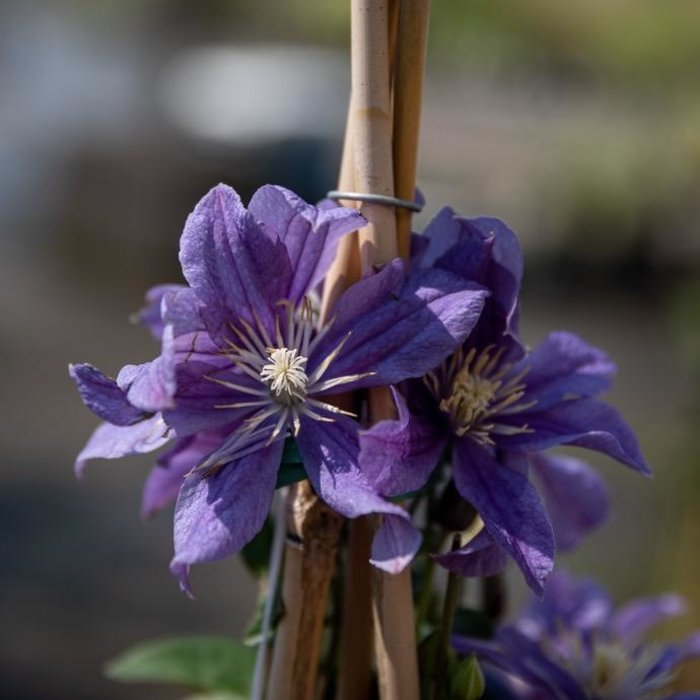 #2 Clematis x Arabella/Blue-violet