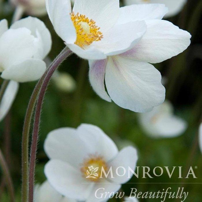 #1 Anemone Pretty Lady Maria