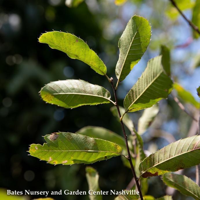 #7 Quercus acutissima/Sawtooth Oak